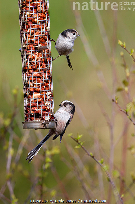 Long Tailed Tits (Aegithalos caudatus) on peanut feeder. UK, April.  ,  BIRDS,EUROPE,FEEDERS,FEEDING,GARDENS,PARIDAE,SONGBIRDS,TITS,TWO,UK,VERTEBRATES,VERTICAL,United Kingdom  ,  Ernie Janes