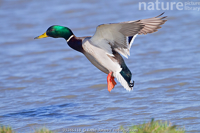 Mallard (Anas platyrhynchos) male in flight over water. UK, April.  ,  BIRDS,DUCK,DUCKS,EUROPE,UK,VERTEBRATES,WATERFOWL,United Kingdom  ,  Ernie Janes