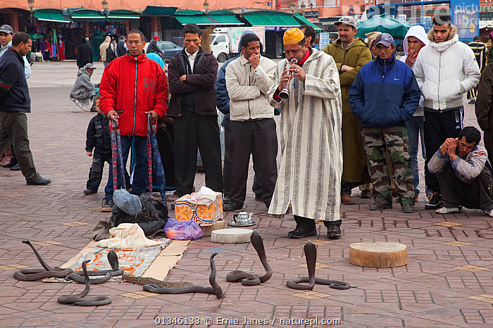Snake charmer entertaining a small crowd. Marakesh, Morocco, March.  ,  AFRICA,CITIES,COBRAS,NORTH AFRICA,OUTDOORS,PEOPLE,REPTILES,SNAKES,TOURISM,TOWNS,VERTEBRATES  ,  Ernie Janes