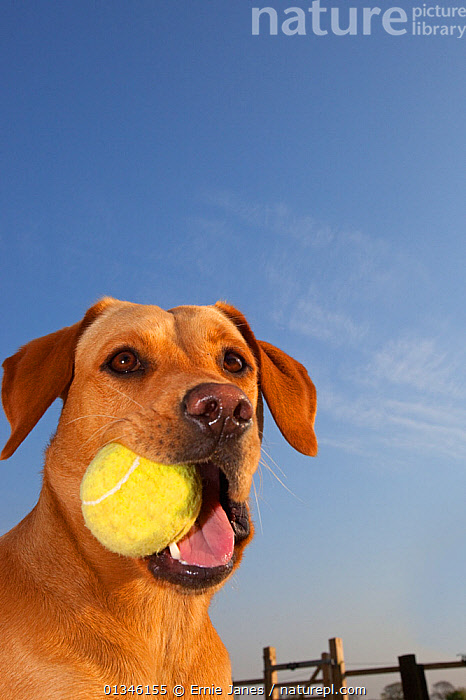 Yellow Labrador with a ball in its mouth against blue sky.  ,  BALLS,CUTE,DOGS,GUNDOGS,MEDIUM DOGS,PETS,PLAY,PLAYING,PORTRAITS,VERTEBRATES,VERTICAL,Communication,Canids  ,  Ernie Janes