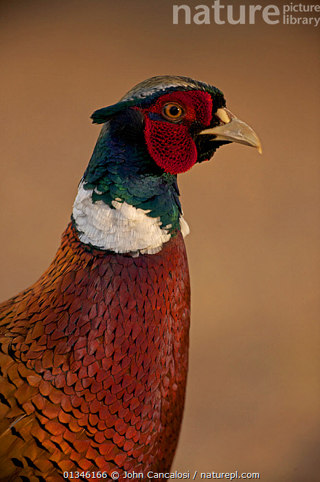 Ring-necked Pheasant (Phasianus colchicus), an escaped captive bird living wild. Sonoran desert, Arizona, March.  ,  BIRDS,GALLIFORMES,GAME BIRDS,MALES,NORTH AMERICA,PHEASANTS,PORTRAITS,USA,VERTEBRATES,VERTICAL  ,  John Cancalosi