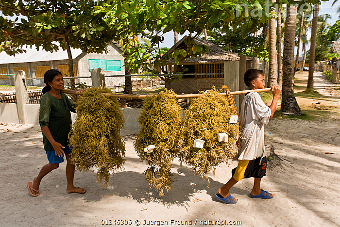 Woman and boy carrying seaweed / red algae (Kappaphycus alvarezii) from seaweed farm, harvested and dried for export, Philippines, May 2006.  ,  ALGAE,ASIA,BOY,BUILDINGS,CARRYING,COMMERCIAL,CORAL TRIANGLE,CROPS,INDO PACIFIC,PEOPLE,PHILIPPINES,TRADE,TWO,VILLAGES,WOMAN,WORKING,,Plants,SOUTH-EAST-ASIA  ,  Jurgen Freund