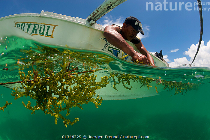 Bantay Dagat / Sea patroller tending his seaweed farm, Palawan, Philippines, May 2009.  ,  ALGAE,ASIA,BOATS,CORAL TRIANGLE,CROPS,FARMING,INDO PACIFIC,MAN,MARINE,MS,SEAWEED,SPLIT LEVEL,TROPICAL,UNDERWATER,WORKING BOATS,,Plants,PEOPLE ,SOUTH-EAST-ASIA  ,  Jurgen Freund