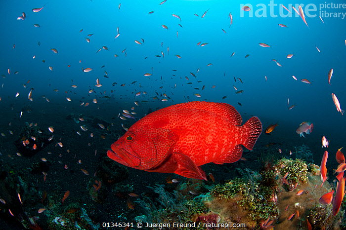 Tomato grouper (Cephalopholis sonnerati) on coral reef, Bali, Indo-pacific.  ,  ASIA,BLUE,COLOURFUL,CORAL TRIANGLE,FISH,GROUPERS,INDO PACIFIC,MARINE,OSTEICHTHYES,RED,TROPICAL,UNDERWATER,VERTEBRATES,,INDONESIA,SOUTH-EAST-ASIA  ,  Jurgen Freund