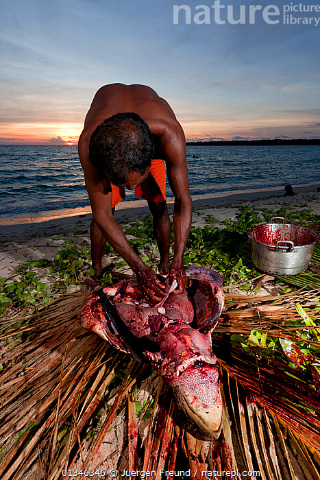 Moluccan man slaughters a freshly caught Green turtle (Chelonia mydas) Moluccas Islands, Indonesia, November 2009.  ,  ASIA,BLOOD,COASTS,CORAL TRIANGLE,ENDANGERED,FISHING,HORRIFIC,INDO PACIFIC,MAN,MARINE,OUTDOORS,PEOPLE,TURTLES,VERTICAL,,SOUTH-EAST-ASIA REPTILES,CHELONIA,TESTUDINES,TURTLES,SOUTH-EAST-ASIA  ,  Jurgen Freund