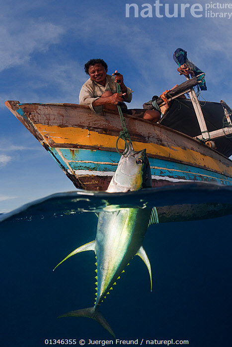 Nature Picture Library - Outrigger boats catch Yellowfin