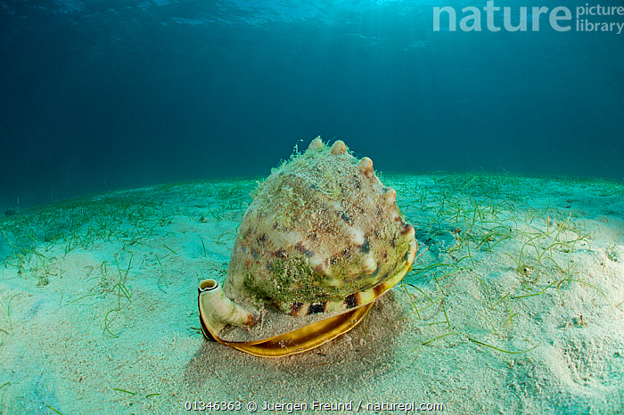 Horned helmet conch snail (Cassis cornuta) feeding on by sucking out a Sand dollar, Palawan, Philippines, Indo-pacific.  ,  ASIA,BEHAVIOUR,BIVALVES,CORAL TRIANGLE,FEEDING,GASTROPODS,INDO PACIFIC,INVERTEBRATES,MARINE,MOLLUSCS,PREDATION,SEABED,SNAILS,TROPICAL,UNDERWATER,,SOUTH-EAST-ASIA,Adders,Vipers,Snakes  ,  Jurgen Freund