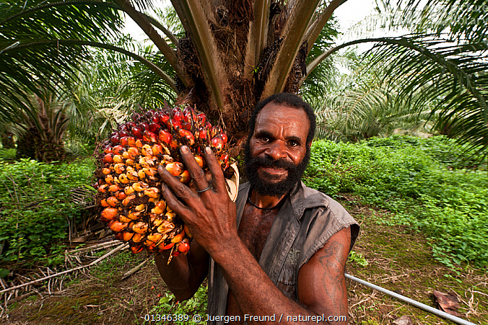 Man harvests ripe palm fruits (Elaeis quineesis Jacq) ready for processing into palm oil, New Britain Palm Oil Limited, West New Britain, Papua New Guinea, May 2010.  ,  ARECACEAE,ASIA,COMMERCIAL,CORAL TRIANGLE,CROPS,FRUIT,HARVESTING,MONOCOTYLEDONS,OUTDOORS,PALMS,PAPUA NEW GUINEA,PEOPLE,PLANTS,WORKING,  ,  Jurgen Freund