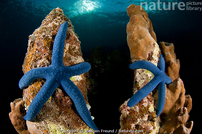Blue linkia starfish (Linckia laevigata) pair attached to the dead part of coral, New Ireland, Papua New Guinea  ,  ASIA,ASTEROIDEA,BLUE,bright colour,catalogue4G,close up,Coral,coral triangle,dead,ECHINODERMS,fearful,INDO PACIFIC,INVERTEBRATES,MARINE,New Ireland,Nobody,Pair,papua new guinea,SEALIFE,SEA STARS,security,STARFISH,TROPICAL,two,UNDERWATER,WILDLIFE,WWF  ,  Jurgen Freund