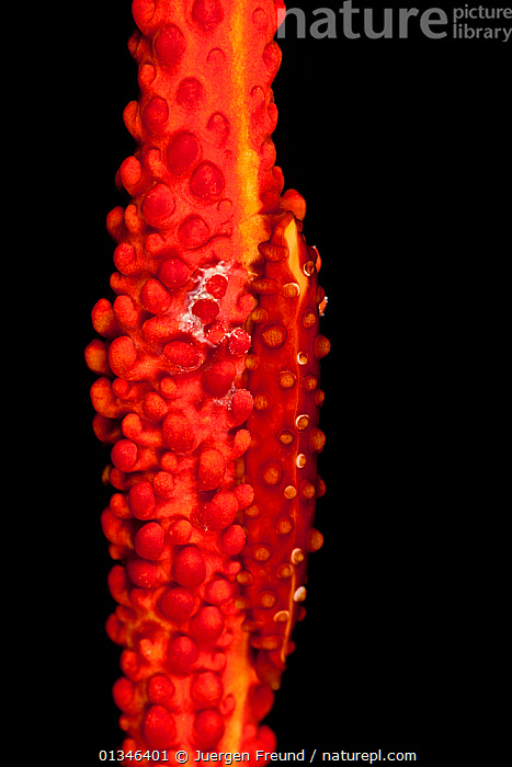 Allied cowry (Aclyvolva lamyi) camouflaged on red whip coral, New Ireland, Papua New Guinea  ,  ALLIED-COWRIES, ASIA, CAMOUFLAGE, COLOURFUL, coral triangle, GASTROPODS, INDO-PACIFIC, INVERTEBRATES, MARINE, MOLLUSCS, ovulidae, RED, SEA-SNAILS, submission, TROPICAL, UNDERWATER, VERTICAL, WWF  ,  Jurgen Freund