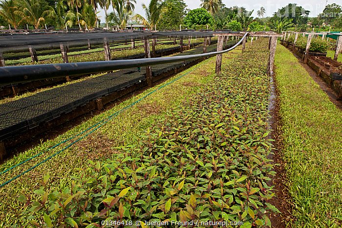 Plant nursery of Kolombangara Forest Products Limited, Kolombangara, Western Province, Solomon Islands, July 2010.  ,  ASIA,COMMERCIAL,CORAL TRIANGLE,CULTIVATED,GROWTH,INDO PACIFIC,LANDSCAPES,MELANESIA,PACIFIC,PLANTATIONS,PLANTS,SOLOMON ISLANDS,,Concepts  ,  Jurgen Freund