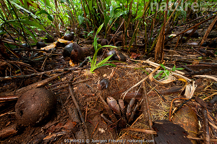 Coconut crab (Birgus latro) in a burrow in the forest of Tetepare Island, Western Province, Solomon Islands, Melanesia, July 2010    . NOT AVAILABLE FOR MAGAZINE USE IN GERMAN-SPEAKING COUNTRIES UNTIL 1ST JULY 2013.  ,  ARTHROPODS,ASIA,COCONUTS,CORAL TRIANGLE,CRUSTACEANS,HABITAT,HERMIT CRABS,HOMES,INDO PACIFIC,INVERTEBRATES,MELANESIA,PACIFIC,SOLOMON ISLANDS,TROPICAL RAINFOREST,  ,  Jurgen Freund