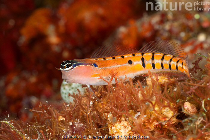 Tiger blenny (Ecsenius tigris) resting on coral reef, Kimbe Bay, Papua New Guinea, Indo-Pacific  ,  ASIA, BLENNIES, blenniidae, coral triangle, CORAL-REEFS, FISH, INDO-PACIFIC, MARINE, OSTCHIETHYES, TROPICAL, UNDERWATER, VERTEBRATES, WWF,Tigers,Big Cats  ,  Jurgen Freund