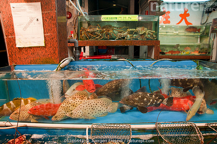 Live reef fish and crustacean in tanks beside seafood restaurants, Lei Yue Mun harbour, Hong Kong, China, April 2009.  ,  ASIA,CHINA,CITIES,CORAL TRIANGLE,CRABS,FISH,FOOD,INDO PACIFIC,MARINE,MARKET,MIXED SPECIES,TROPICAL,UNDERWATER,  ,  Jurgen Freund