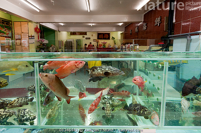 Live reef fish in tanks beside seafood restaurants, Lei Yue Mun harbour, Hong Kong, China, April 2009.  ,  AQUARIUM,ASIA,CHINA,CITIES,CORAL TRIANGLE,FISH,FOOD,INDOORS,INDO PACIFIC,MARINE,MARKET,MIXED SPECIES,TANKS,TRADE,TROPICAL,UNDERWATER,,JURGEN  ,  Juergen Freund