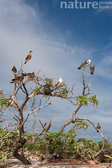 Red-footed boobies (Sula sula) brown and white morphs perched in tree, Bird Islet, Tubbataha Reefs, Philippines, April.  ,  ASIA,BIRDS,BOOBIES,COASTS,COLOUR MORPHISM,CORAL TRIANGLE,GROUPS,INDO PACIFIC,PHILIPPINES,RESERVE,SEABIRDS,VERTEBRATES,VERTICAL,  ,  Jurgen Freund