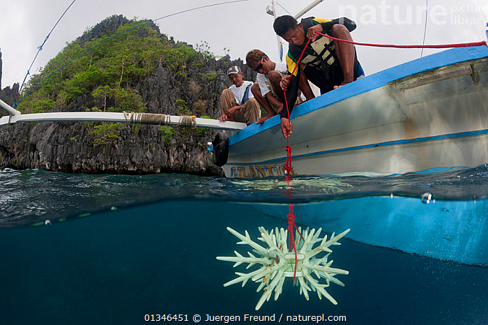 Diver lowering an artificial reef made of ceramic snowflakes to help rejuvenate the dead reef of El Nido. The 1998 El Nino caused a massive scale coral bleaching to this tourist town that used to have pristine coral reefs. El Nido, Palawan, Philippines, May 2009  ,  artificial,ASIA,boat,BOATS,catalogue4G,Ceramic,CONSERVATION,coral triangle,CORAL REEFS,Crouching,damage,El Nido,ENVIRONMENTAL,environmentalist,INDO PACIFIC,looking down,LOWERING,MARINE,MEN,men only,mid adult,Palawan,Philippines,reef,RESEARCH,SPLIT LEVEL,three people,TROPICAL,UNDERWATER,view to land,WATER,WWF,young adult,PROCEDURES,PEOPLE ,SOUTH-EAST-ASIA  ,  Jurgen Freund