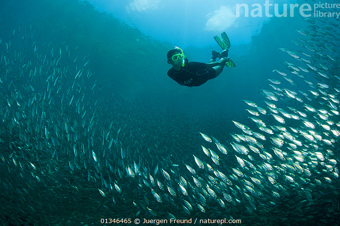 Snorkeler swimming through a school of Oxeye scads (Selar boops) in the house reef of Miniloc Island Resort, El Nido island, Palawan, Philippines, May 2009. Model released.  ,  ASIA,Carangidae,catalogue4G,coral triangle,Discovery,El Nido,exploration,FISH,GROUPS,INDO PACIFIC,INTERACTION,large group of animals,MAN,MARINE,mid adult,Miniloc Island Resort,multitude,nature,on the move,one man only,one person,OSTEICHTHYES,Palawan,PEOPLE,Philippines,reef,SCADS,school of fish,SHOAL,silver,snorkeler,SNORKELING,snorkelling,TROPICAL,UNDERWATER,VERTEBRATES,WWF,SOUTH-EAST-ASIA,,Journeyman,Travel,Wanderlust,,Wonder,Spectacular,  ,  Jurgen Freund