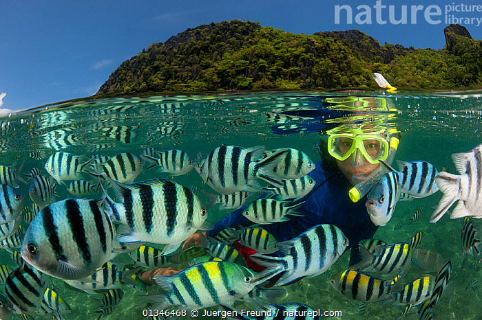 Snorkeler swims amongst Sergeant major damselfish (Abudefduf vaigiensis) at the house reef of Miniloc Island Resort, El Nido Island, Palawan, Philippines, May 2009. These fish gather in a dense mass when bread is thrown into the water by staff from the eco-resort. Split level image. Model released . NOT AVAILABLE FOR MAGAZINE USE IN GERMAN-SPEAKING COUNTRIES UNTIL 1ST JULY 2013.  ,  ASIA,coral triangle,DAMSELFISH,FISH,GROUPS,INDO PACIFIC,MARINE,OSTEICHTHYES,PEOPLE,SNORKELING,SPLIT LEVEL,STRIPED,STRIPES,SWIMMING,TOURISM,TROPICAL,UNDERWATER,VERTEBRATES,,SOUTH-EAST-ASIA,core collection xtwox  ,  Jurgen Freund