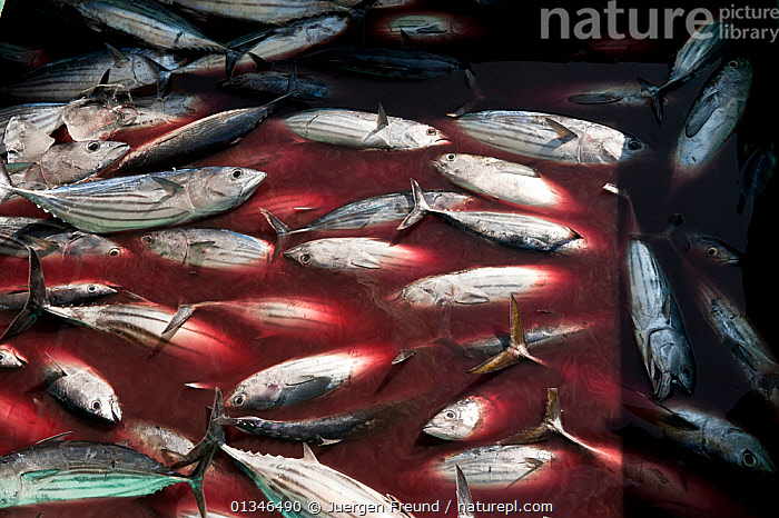 Skipjack tuna from Mabul fishermen delivering their catch to Semporna, Sabah, Borneo, Malaysia, June 2009.  ,  ASIA,BLOOD,BORNEO,CORAL TRIANGLE,FISH,FISHERIES,FISHING,FOOD,INDO PACIFIC,MALAYSIA,TUNA,,SOUTH-EAST-ASIA  ,  Jurgen Freund