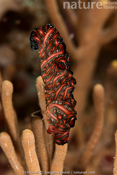 Bedford's flatworm (Pseudobiceros bedfordi) on coral, Komodo NP, Indonesia, Indo-pacific.  ,  ASIA,CORAL TRIANGLE,FLATWORM,INDONESIA,INDO PACIFIC,INVERTEBRATES,MARINE,PLATYHELMINTHES,TROPICAL,UNDERWATER,VERTICAL,,SOUTH-EAST-ASIA  ,  Jurgen Freund