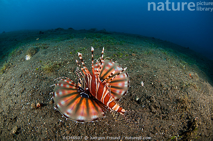 Zebra dwarf lionfish (Dendrochirus zebra) with pectoral fins extended on seabed, Komodo NP, Indonesia, Indo-pacific.  ,  BEHAVIOUR,CORAL TRIANGLE,FINS,FISH,FISH EYE,INDO PACIFIC,LIONFISH,MARINE,NP,OSTEICHTHYES,SOUTH EAST ASIA,TROPICAL,UNDERWATER,VERTEBRATES,,SOUTH-EAST-ASIA,Asia,National Park,,NP,Komodo National Park,UNESCO World Heritage Site,  ,  Jurgen Freund