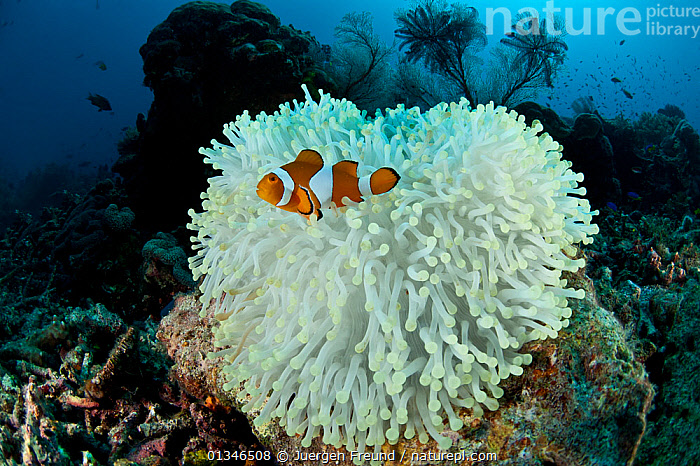 Clown anemonefish (Amphiprion percula) on bleached coral, Komodo NP, Indonesia, Indo-pacific.  ,  ANEMONEFISH,ANEMONE FISH,BLEACHING,CLIMATE CHANGE,CLOWNFISH,CLOWN FISH,CORAL TRIANGLE,CORALS,DAMSELFISH,FISH,INDO PACIFIC,MARINE,NP,OSTEICHTHYES,SOUTH EAST ASIA,TEMPERATURE,TROPICAL,UNDERWATER,VERTEBRATES,WHITE,,SOUTH-EAST-ASIA,Asia,National Park,,NP,Komodo National Park,UNESCO World Heritage Site,  ,  Jurgen Freund