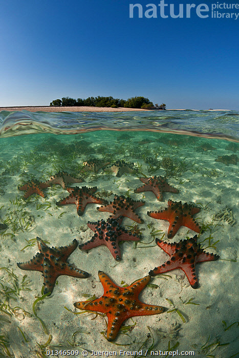 Horned sea stars / Chocolate chip stafish (Protoreaster nodosus) on sandy seabed in shallow  water, split level with an island in the background, Komodo NP, Indonesia, Indo-pacific, August 2009.  ,  ASTEROIDEA,CORAL TRIANGLE,ECHINODERMS,GROUPS,INDO PACIFIC,INVERTEBRATES,MARINE,SEA STARS,SOUTH EAST ASIA,SPLIT LEVEL,STARFISH,TROPICAL,UNDERWATER,VERTICAL,,SOUTH-EAST-ASIA,Asia,,NP,Komodo National Park,UNESCO World Heritage Site,  ,  Jurgen Freund