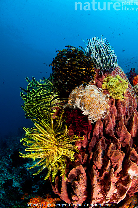 Featherstars (Crinoidea) on a Barrel sponge in coral reef, Komodo NP, Indonesia, Indo-pacific.  ,  CORAL TRIANGLE,CORAL REEFS,CORALS,CRINOIDEA,ECHINODERMS,FEATHER STARS,FIVE,INDO PACIFIC,INVERTEBRATES,LANDSCAPES,MARINE,SOUTH EAST ASIA,TROPICAL,UNDERWATER,VERTICAL,,YELLOW,SOUTH-EAST-ASIA,Asia  ,  Jurgen Freund