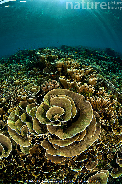 Healthy coral reef full of cabbage corals, Komodo NP, Indonesia, Indo-pacific.  ,  CORAL TRIANGLE,CORAL REEFS,CORALS,INDO PACIFIC,LANDSCAPES,MARINE,SOUTH EAST ASIA,TROPICAL,UNDERWATER,VERTICAL,,SOUTH-EAST-ASIA,Asia,Anthozoans,Invertebrates,Cnidaria  ,  Jurgen Freund