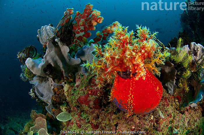 Sea apple (Pseudocolochirus violaceus) with tentacles exposed, feeding, Komodo NP, Indonesia, Indo-pacific.  ,  COLOURFUL,CORAL TRIANGLE,CORAL REEFS,ECHINODERMS,HOLOTHURIDEA,INDO PACIFIC,INVERTEBRATES,MARINE,NP,RED,SEA CUCUMBERS,SOUTH EAST ASIA,TROPICAL,UNDERWATER,,SOUTH-EAST-ASIA,Asia,National Park,,NP,Komodo National Park,UNESCO World Heritage Site,  ,  Jurgen Freund