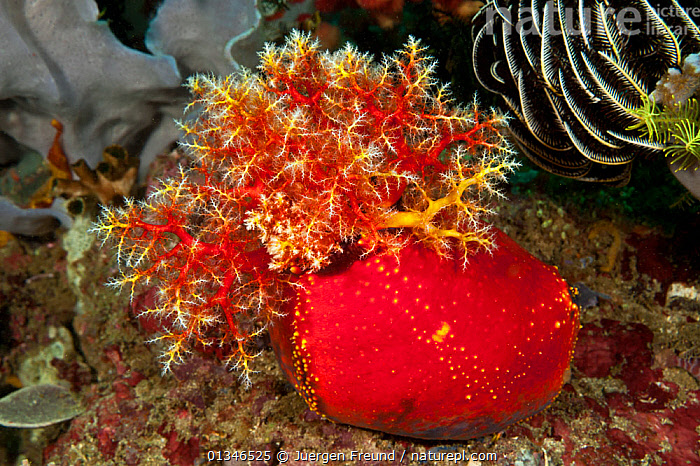 Sea apple (Pseudocolochirus violaceus) with tentacles exposed, feeding, Komodo NP, Indonesia, Indo-pacific.  ,  COLOURFUL,CORAL TRIANGLE,ECHINODERMS,FEEDING,HOLOTHURIDEA,INDO PACIFIC,INVERTEBRATES,MARINE,NP,RED,SEA CUCUMBERS,SOUTH EAST ASIA,TROPICAL,UNDERWATER,,Asia,National Park,SOUTH-EAST-ASIA,,NP,Komodo National Park,UNESCO World Heritage Site,  ,  Jurgen Freund