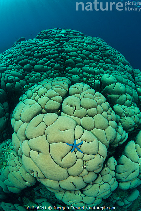 Massive boulder / Cauliflower coral (Gardineroseris planulata) with blue sea star, Buyat Bay, Sulawesi, Indonesia, Indo-pacific.  ,  AGARICIIDAE,ANTHOZOANS,CORAL TRIANGLE,HARD CORALS,INDO PACIFIC,MARINE,SEA STARS,SOUTH EAST ASIA,STARFISH,TROPICAL,UNDERWATER,VERTICAL,,Invertebrates,SOUTH-EAST-ASIA,Asia,INDONESIA,Cnidaria  ,  Jurgen Freund