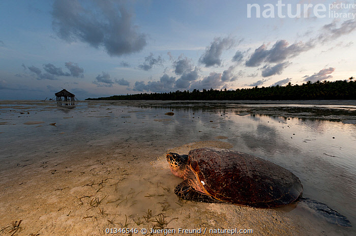 Hawskbill turtle (Eretmochelys imbricata) female makes her way back to sea at sunrise after laying her eggs on the beach. Moromaho Island, Sulawesi, Indonesia, November 2009.  ,  BEACHES,BEHAVIOUR,CHELONIA,COASTS,CORAL TRIANGLE,DAWN,ENDANGERED,FEMALES,INDO PACIFIC,MARINE,REPTILES,SEA TURTLES,SOUTH EAST ASIA,SUNRISE,TURTLES,,SOUTH-EAST-ASIA,Asia,INDONESIA  ,  Jurgen Freund