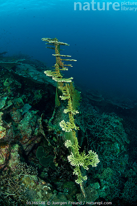 Fallen Acropora coral branching out and starting to grow horizontally again, Sulawesi, Indonesia, Indo-pacific.  ,  ANTHOZOANS,CNIDARIANS,CORAL TRIANGLE,CORALS,GROWTH,HARD CORALS,INDO PACIFIC,INVERTEBRATES,MARINE,REGENERATION,SOUTH EAST ASIA,TROPICAL,UNDERWATER,VERTICAL,,Concepts,SOUTH-EAST-ASIA,Asia,INDONESIA,Cnidaria  ,  Jurgen Freund