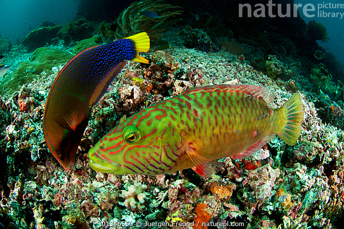Yellowtail coris / Clown wrasse (Coris gaimard) on left, feeding on coral reef, and Cheeklined Maori Wrasse (Cheilinus diagrammus) on right,  Sulawesi, Indonesia, Indo-pacfic.  ,  COLOURFUL,CORAL TRIANGLE,CORAL REEFS,CORIS GAIMARDI,FISH,INDO PACIFIC,MARINE,MIXED SPECIES,OSTEICHTHYES,SOUTH EAST ASIA,TROPICAL,TWO,UNDERWATER,VERTEBRATES,WRASSE,,SOUTH-EAST-ASIA,Asia,INDONESIA  ,  Jurgen Freund