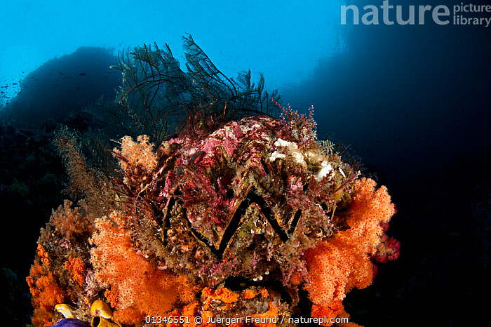 Honeycomb oyster (Hyotissa hyotis) on coral reef, Raja Ampat, West Papua, Indonesia.  ,  BIVALVES,CORAL TRIANGLE,CORAL REEFS,INDO PACIFIC,INVERTEBRATES,MARINE,MOLLUSCS,OYSTERS,SOUTH EAST ASIA,TROPICAL,UNDERWATER,,SOUTH-EAST-ASIA,Asia,Bivalve  ,  Jurgen Freund
