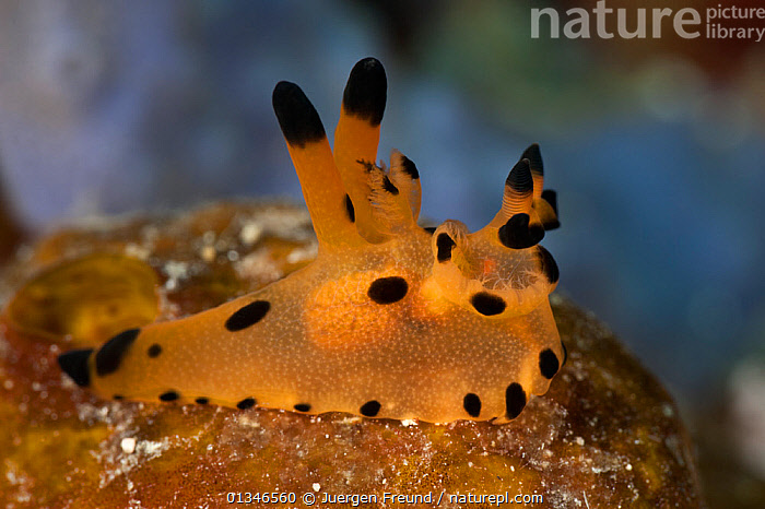 Nudibranch (Thecacera sp) on reef, West Papua, Indonesia.  ,  CORAL TRIANGLE,GASTROPODS,INDO PACIFIC,INVERTEBRATES,MARINE,MOLLUSCS,NUDIBRANCHS,PORTRAITS,SEA SLUGS,SOUTH EAST ASIA,TROPICAL,UNDERWATER,,SOUTH-EAST-ASIA,Asia  ,  Jurgen Freund