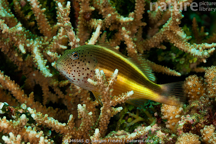Forster's hawkfish (Paracirrhites forsteri) amongst coral, West Papua, Indonesia.  ,  CORAL TRIANGLE,CORAL REEF,CORALS,FISH,HAWKFISH,INDO PACIFIC,MARINE,OSTEICHTHYES,SOUTH EAST ASIA,TROPICAL,UNDERWATER,VERTEBRATES,,SOUTH-EAST-ASIA,Asia  ,  Jurgen Freund