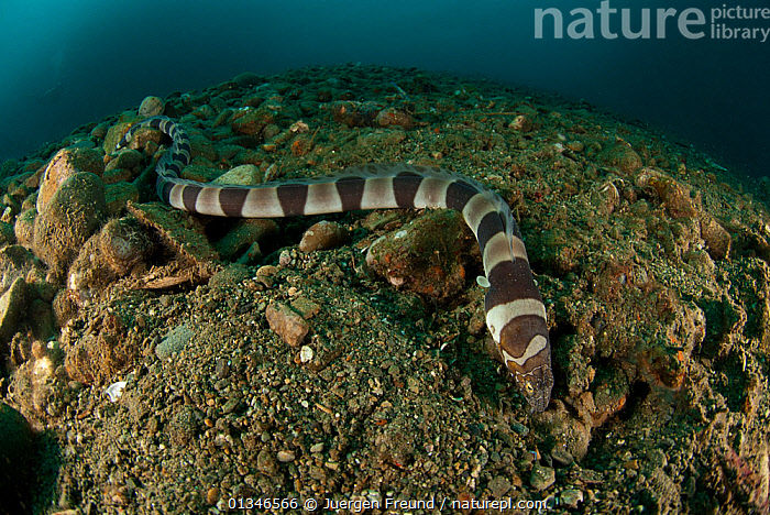 Banded Snake Eel (Myrichthys colubrinus) hunting over seabed, West Papua, Indonesia.  ,  BEHAVIOUR,CORAL TRIANGLE,FISH,INDO PACIFIC,MARINE,OSTEICHTHYES,SEA BED,SNAKE EELS,SOUTH EAST ASIA,STRIPED,STRIPES,TROPICAL,UNDERWATER,VERTEBRATES,,SOUTH-EAST-ASIA,Asia,Snakes  ,  Jurgen Freund