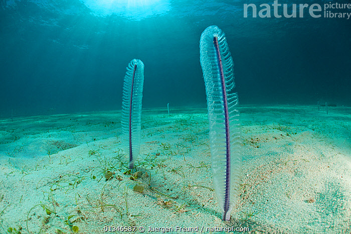 Sea pens (Virgularia sp) on sandy seabed, Palawan, Philippines.  ,  CORAL TRIANGLE,INDO PACIFIC,INVERTEBRATES,LANDSCAPES,MARINE,SEA BED,SEA PENS,SOUTH EAST ASIA,TRANSPARENT,TROPICAL,TWO,UNDERWATER,VERTICAL,VIRGULARIIDAE,,SOUTH-EAST-ASIA,Asia  ,  Jurgen Freund