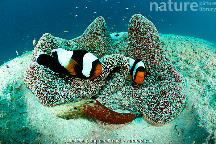 Fierce Saddleback Anemonefish (Amphiprion polymnus) pair protect their freshly laid eggs on a piece of drift wood beside the anemone, Palawan, Philippines.  ,  ANEMONE FISH,BEHAVIOUR,CLOWNFISH,CLOWN FISH,CORAL TRIANGLE,DAMSELFISH,FISH,INDO PACIFIC,LANDSCAPES,MALE FEMALE PAIR,MARINE,OSTEICHTHYES,PARENTAL,SEA ANEMONES,SEABED,SEA BED,SOUTH EAST ASIA,TROPICAL,TWO,UNDERWATER,VERTEBRATES,,SOUTH-EAST-ASIA,Asia  ,  Jurgen Freund