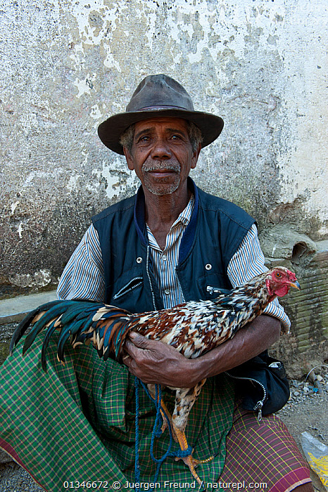 Portrait of East Timorese man in traditional clothing with chicken for cockfight, Maubara, East Timor, August 2010.  ,  CORAL TRIANGLE,HEN,INDO PACIFIC,MAN,PEOPLE,PORTRAITS,POULTRY,SOUTH EAST ASIA,TRADITONAL,VERTICAL,  ,  Jurgen Freund