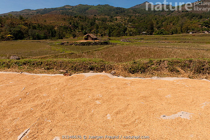 Rice drying beside rice paddies outside of Dili in the more mountainous areas, East Timor, August 2010.  ,  ASIA,CORAL TRIANGLE,CROPS,INDO PACIFIC,LANDSCAPES,PEOPLE,RICE,SOUTH EAST ASIA,  ,  Jurgen Freund