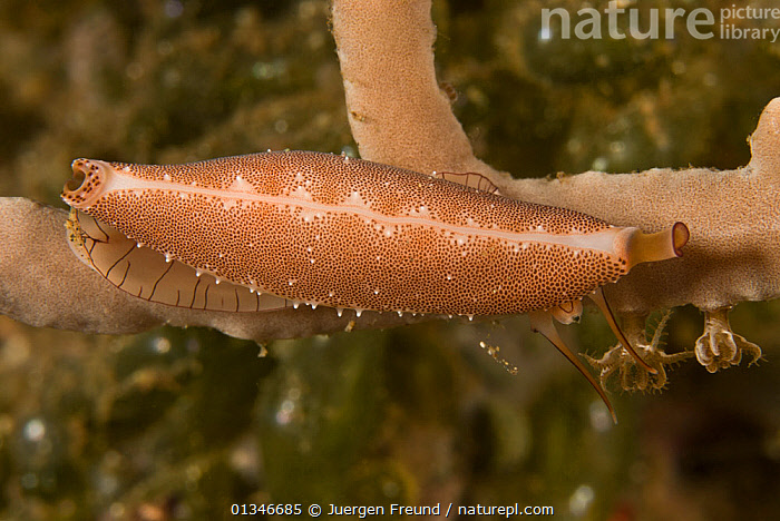 Allied cowrie or ovulid on a gorgonian fan coral, Indo-pacific.  ,  CORAL TRIANGLE,GASTROPODS,INDO PACIFIC,INVERTEBRATES,MARINE,MOLLUSCS,SEASHELLS,TROPICAL,UNDERWATER,,JURGEN  ,  Juergen Freund