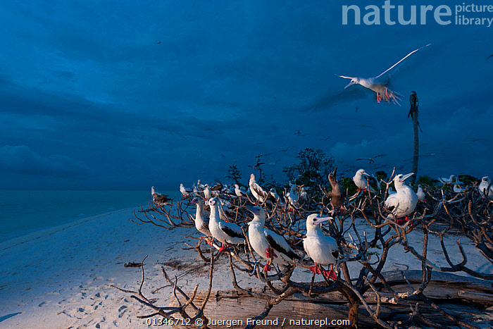 Red-footed boobies (Sula sula) gathering to roost at dusk, Bird Islet, Tubbataha Reef, Sula Sula sea, Philippines, April 2009  ,  beach,BEACHES,Bird Islet,BIRDS,BOOBIES,BRANCHES,catalogue4G,coastal,COASTS,coral triangle,DUSK,Evening,FLOCKS,FLYING,gathering,INDO PACIFIC,LANDSCAPES,large group of animals,Nobody,Philippines,roosting,sand,sea,SEABIRDS,SOUTH EAST ASIA,Sula Sula sea,Togetherness,Tubbataha Reef,VERTEBRATES,WWF,SOUTH-EAST-ASIA,Asia  ,  Jurgen Freund