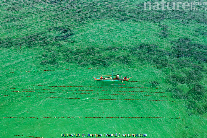 Aerial view of a seaweed farmer tending his crop, growing agar-agar for processing into carageenan (gelatinous extracts used as binder for food or product) Philippines, May 2009.  ,  AERIALS,ALGAE,BOATS,COASTAL WATERS,COMMERCIAL,CORAL TRIANGLE,FARMING,GREEN,LANDSCAPES,PHILIPPINES,SEAWEED,SOUTH EAST ASIA,,Plants,SOUTH-EAST-ASIA,Asia  ,  Jurgen Freund