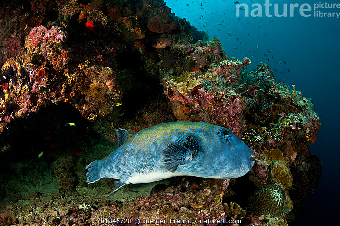 Blue-spotted pufferfish (Arothron caeruleopunctatus) in a reef crevice, Sipadan, Sabah, Malaysia.  ,  BLUE,CORAL TRIANGLE,CORAL REEFS,FISH,INDO PACIFIC,MARINE,OSTEICHTHYES,PUFFERFISH,SOUTH EAST ASIA,TETRAODONTIDAE,TROPICAL,UNDERWATER,VERTEBRATES,,SOUTH-EAST-ASIA,Asia  ,  Jurgen Freund