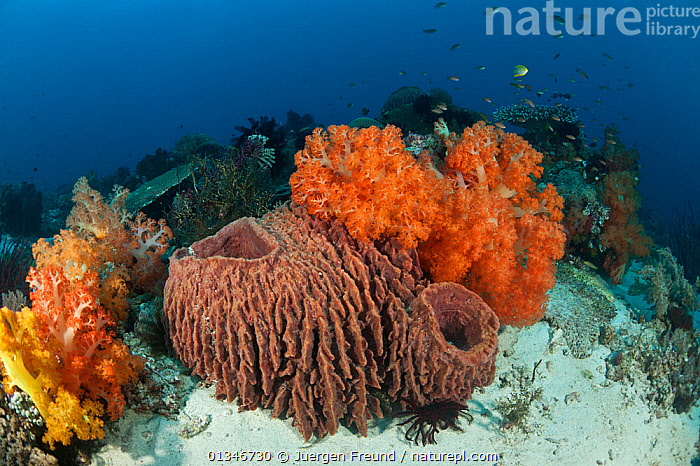 Healthy coral reef with soft corals and barrel sponges, Komodo NP, Indonesia, August 2009.  ,  COLOURFUL,CORAL TRIANGLE,CORAL REEFS,INDO PACIFIC,INVERTEBRATES,LANDSCAPES,SOUTH EAST ASIA,TROPICAL,UNDERWATER,,SOUTH-EAST-ASIA,Asia,Anthozoans,Marine,Cnidaria  ,  Jurgen Freund