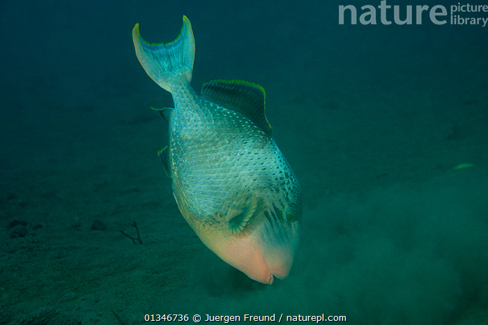 Yellowmargin triggerfish (Pseudobalistes flavimarginatus) hunting for prey on seabed, Bali, Indonesia.  ,  BEHAVIOUR,CORAL TRIANGLE,FEEDING,FISH,INDO PACIFIC,MARINE,OSTEICHTHYES,SEA BED,SOUTH EAST ASIA,TRIGGERFISH,TROPICAL,UNDERWATER,VERTEBRATES,,INDONESIA,SOUTH-EAST-ASIA,Asia  ,  Jurgen Freund